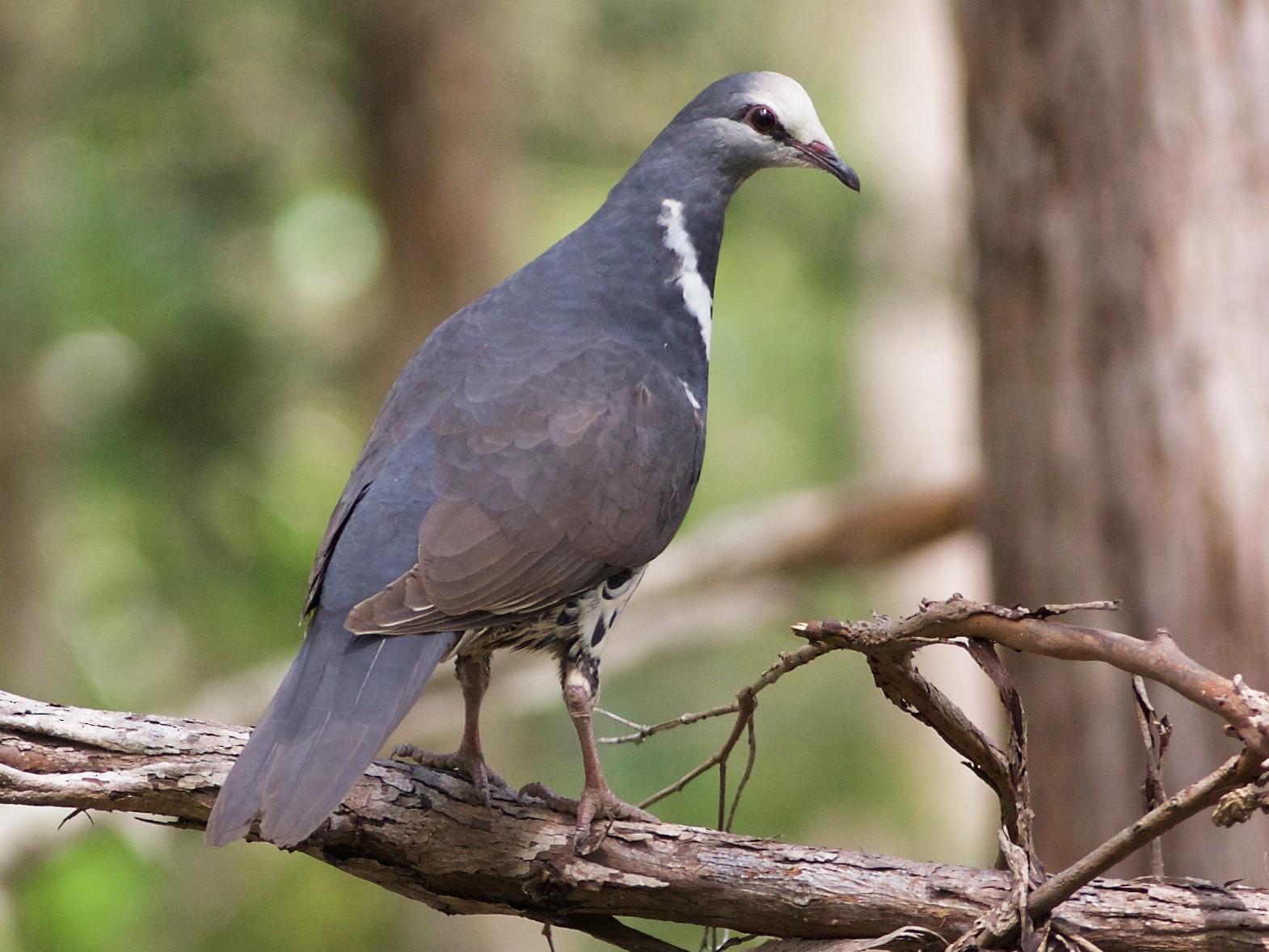 Wonga Pigeon - Liam Murphy
