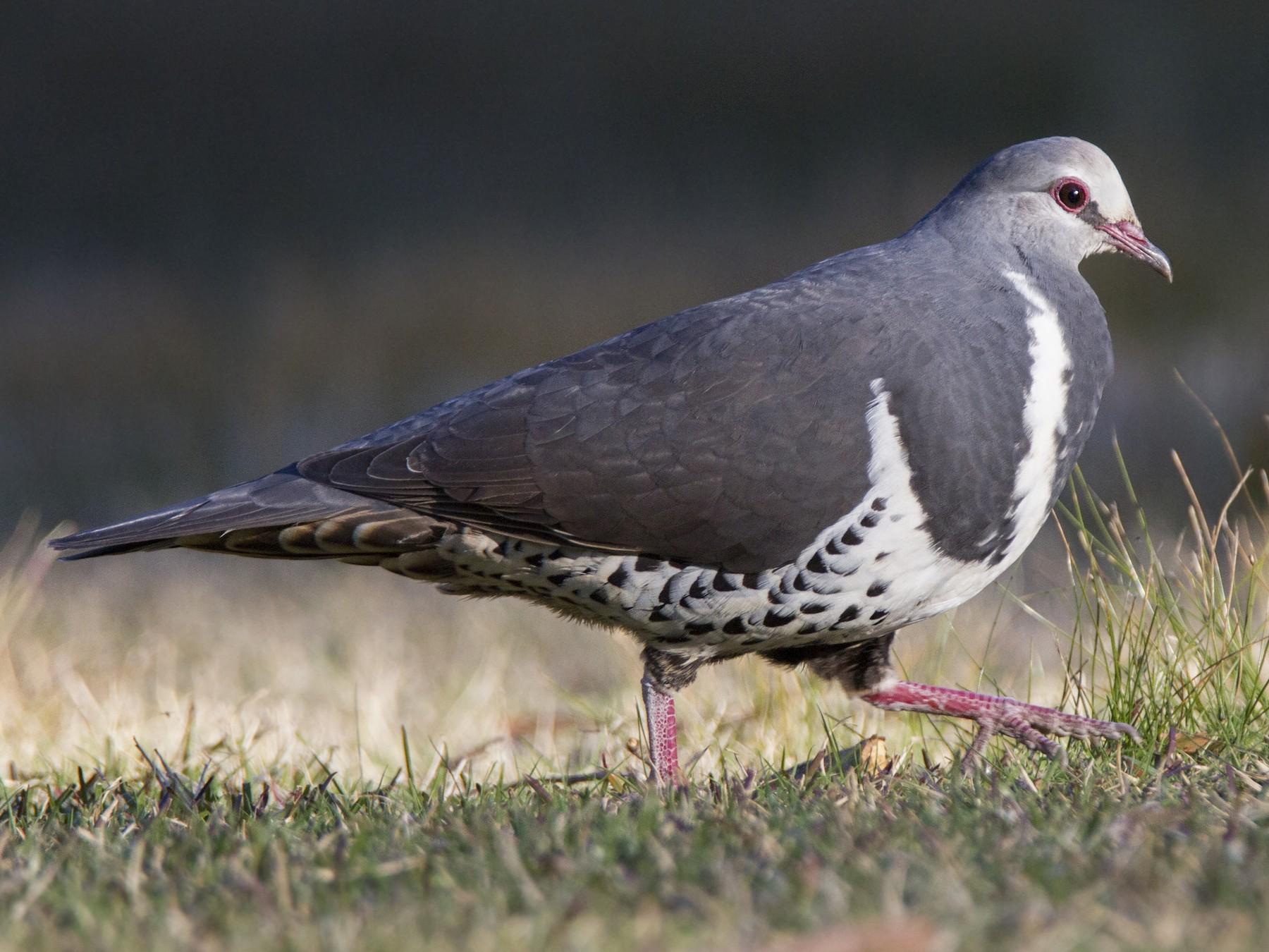 Wonga Pigeon - Timothy Paasila
