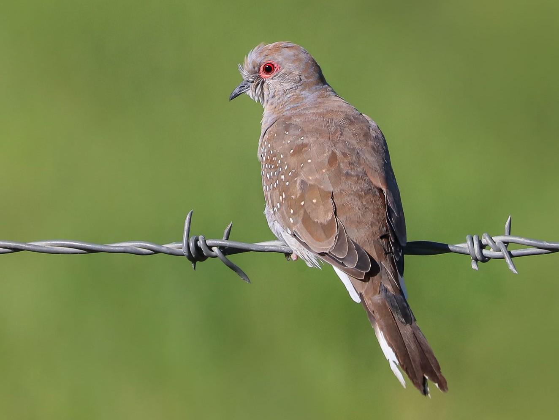 Diamond Dove - Ged Tranter