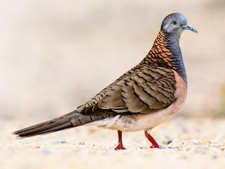 - Bar-shouldered Dove