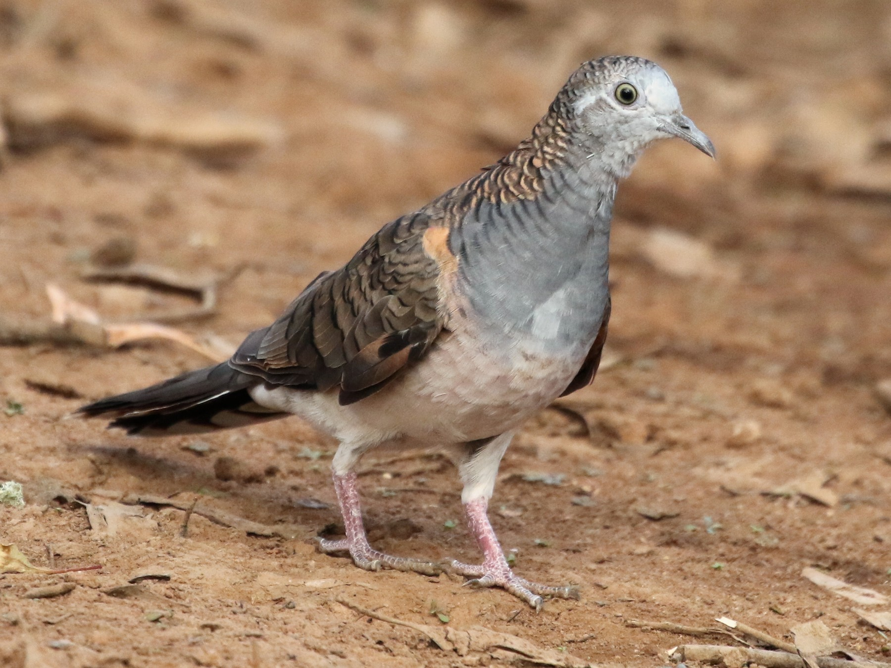 Bar-shouldered Dove - David Ongley
