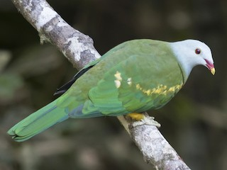 - Wompoo Fruit-Dove