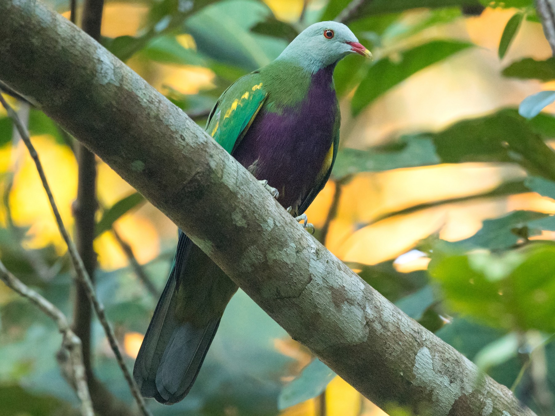 Wompoo Fruit-Dove - David Irving