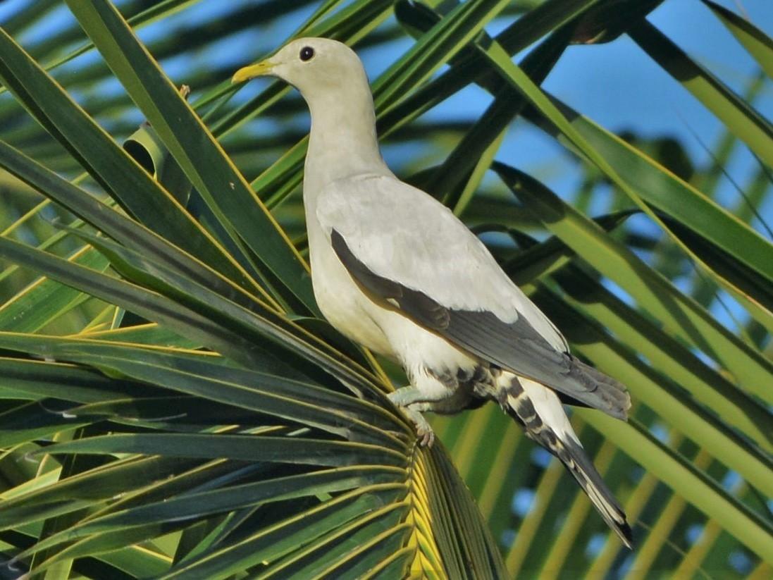 Torresian Imperial-Pigeon - David Hollie