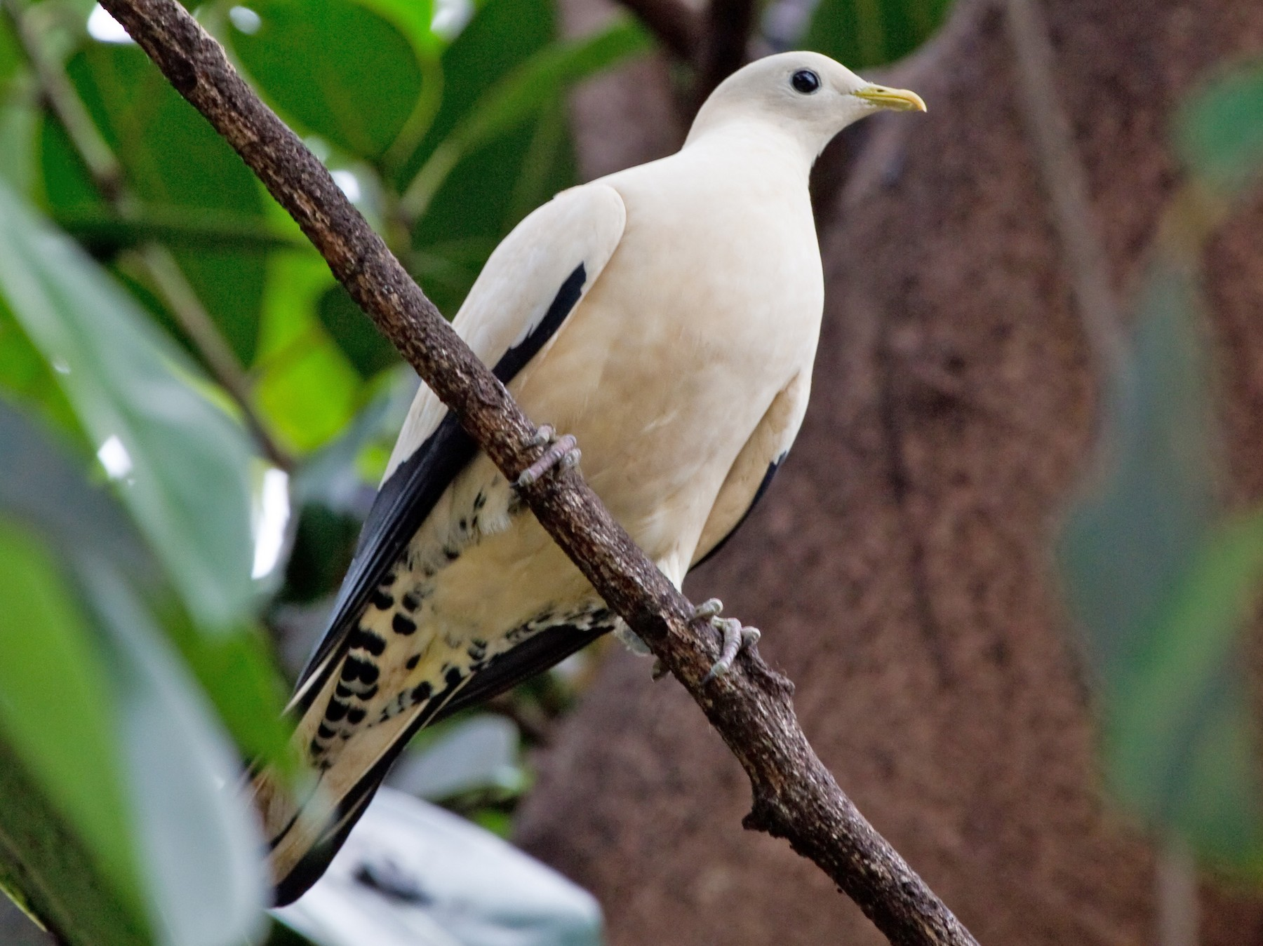 Torresian Imperial-Pigeon - Brian Healy