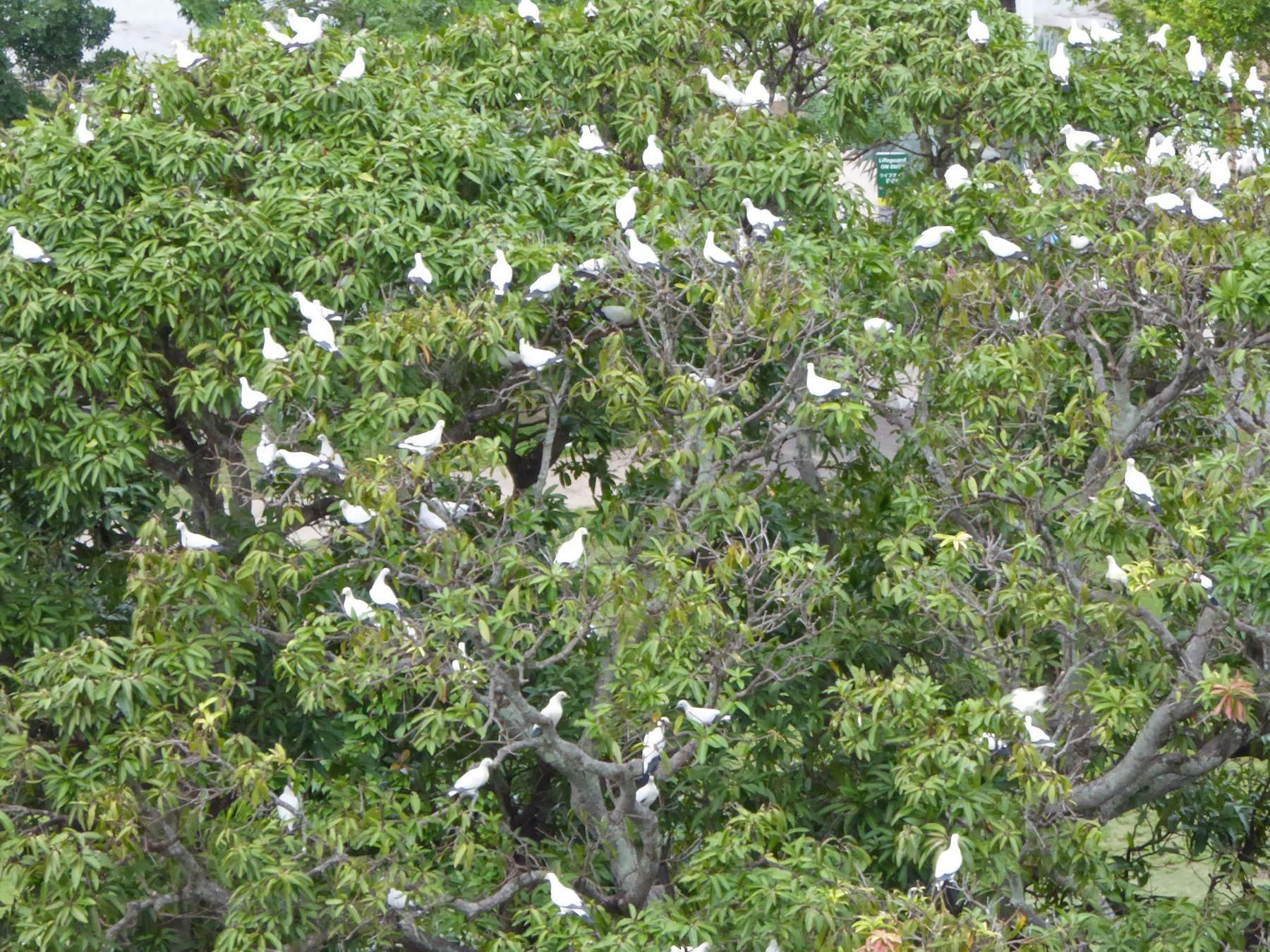 Torresian Imperial-Pigeon - Norton Gill