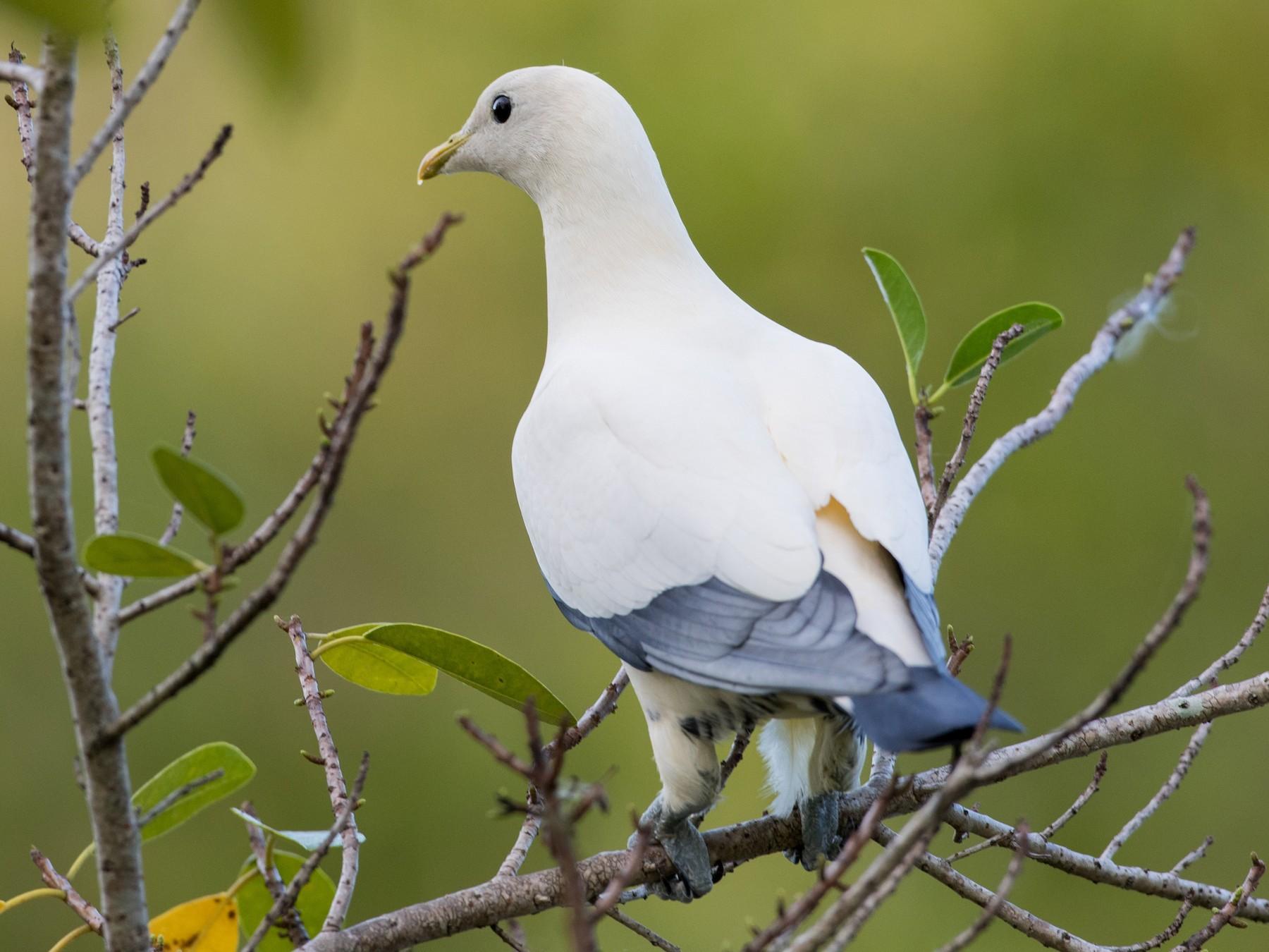 Torresian Imperial-Pigeon - Ian Davies