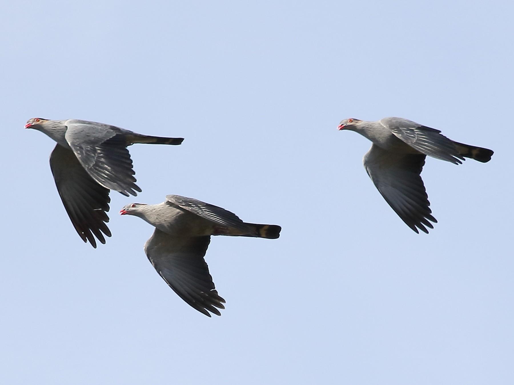 Topknot Pigeon - Michael Rutkowski