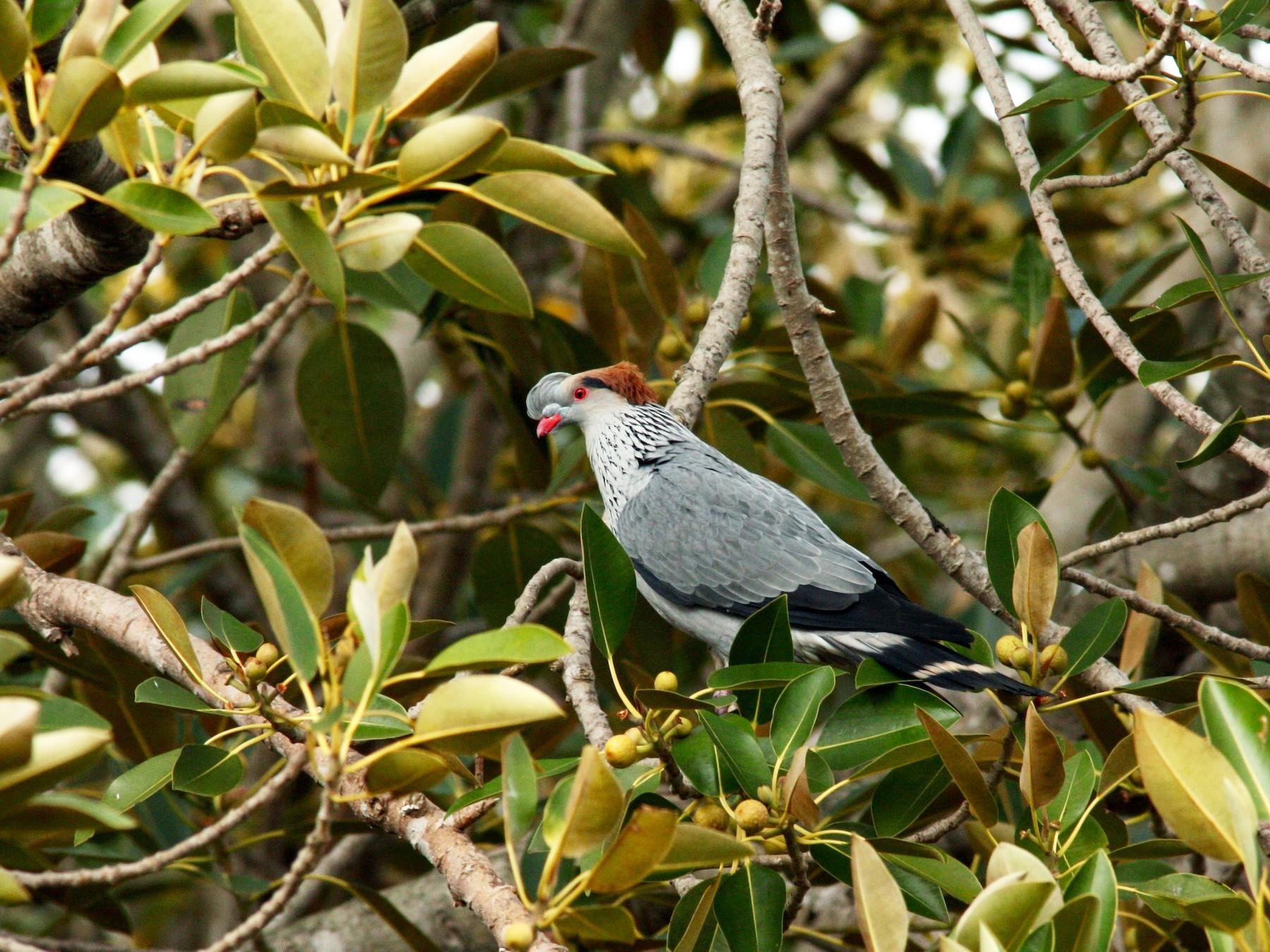 Topknot Pigeon - Reuben Worseldine