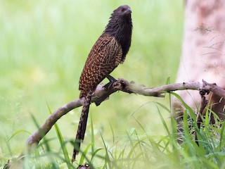 - Pheasant Coucal