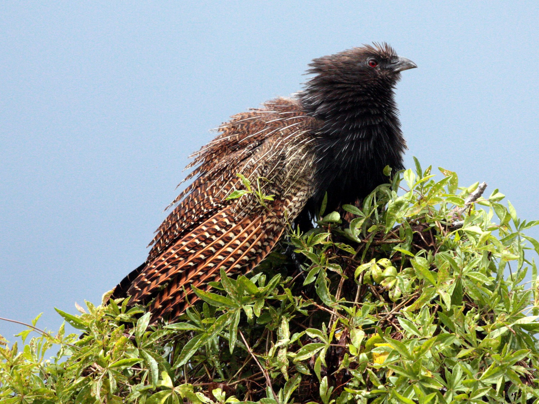 Pheasant Coucal - Corey Callaghan