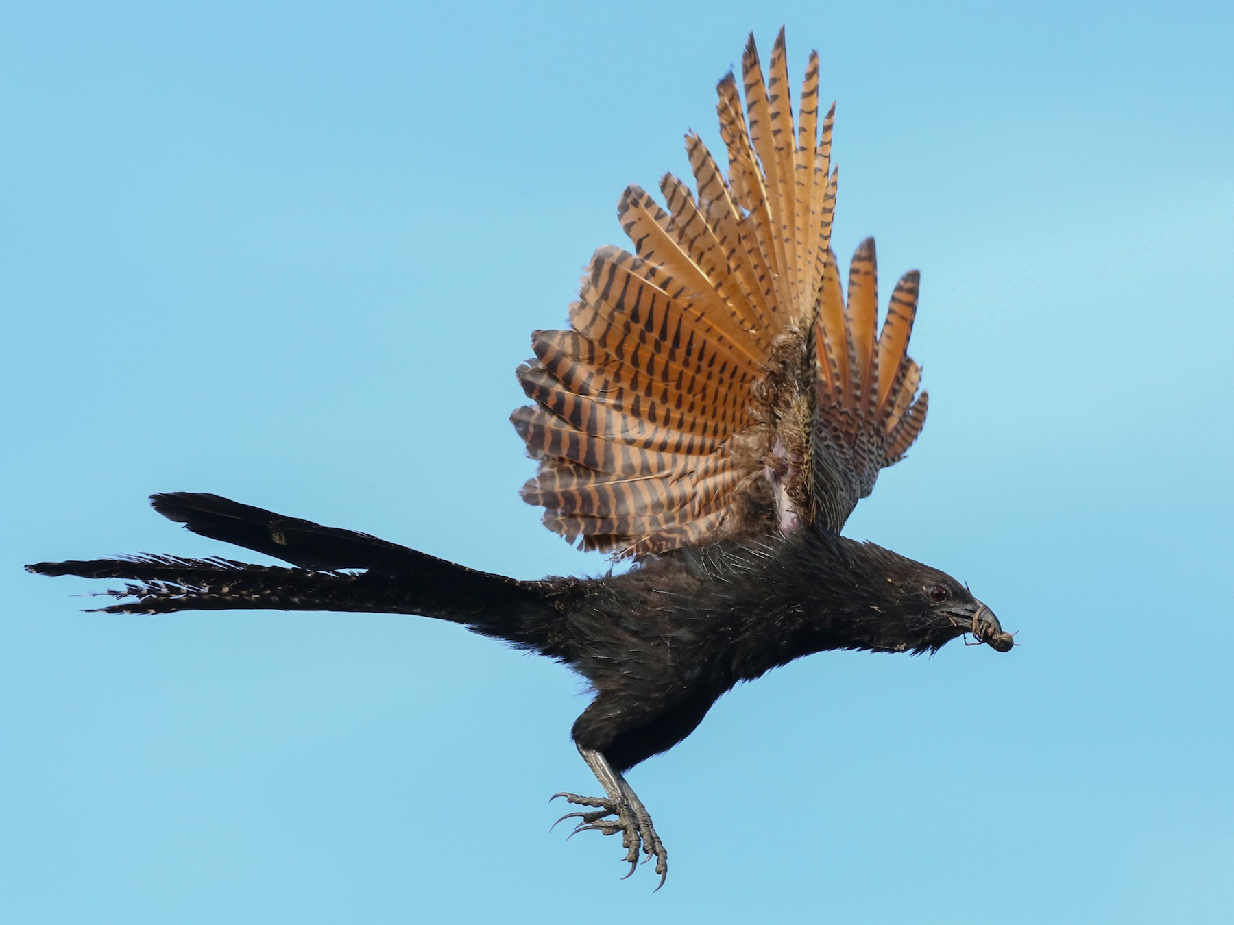 Pheasant Coucal - David Ongley