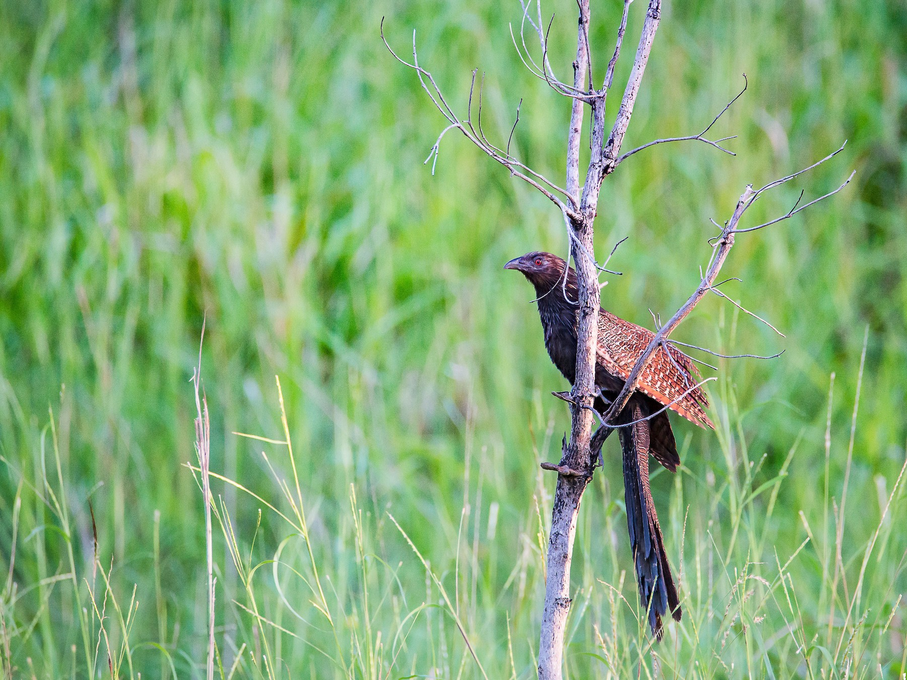 Pheasant Coucal - Jan Lile