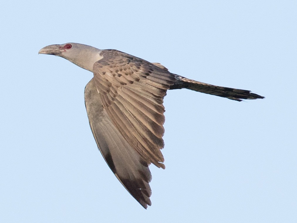 Channel-billed Cuckoo - Ian Davies