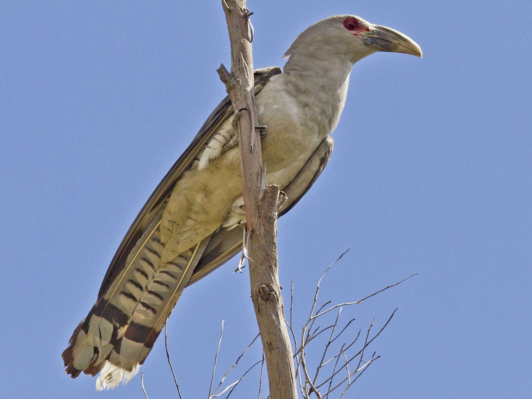 Channel-billed Cuckoo - Mat Gilfedder