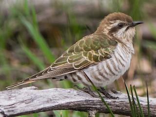- Horsfield's Bronze-Cuckoo