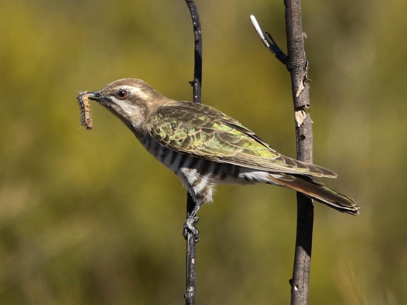 Horsfield's Bronze-Cuckoo - David Ongley