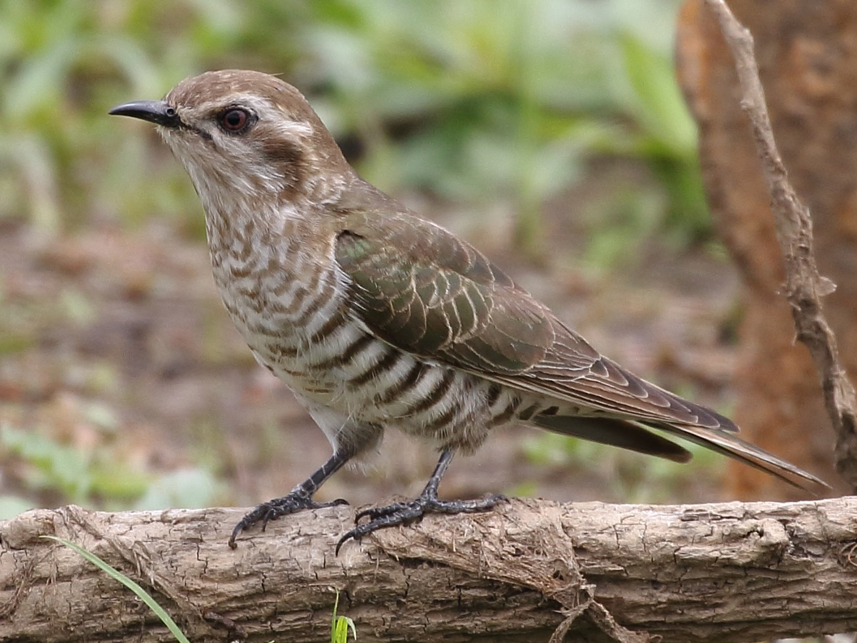 Horsfield's Bronze-Cuckoo - Michael Rutkowski