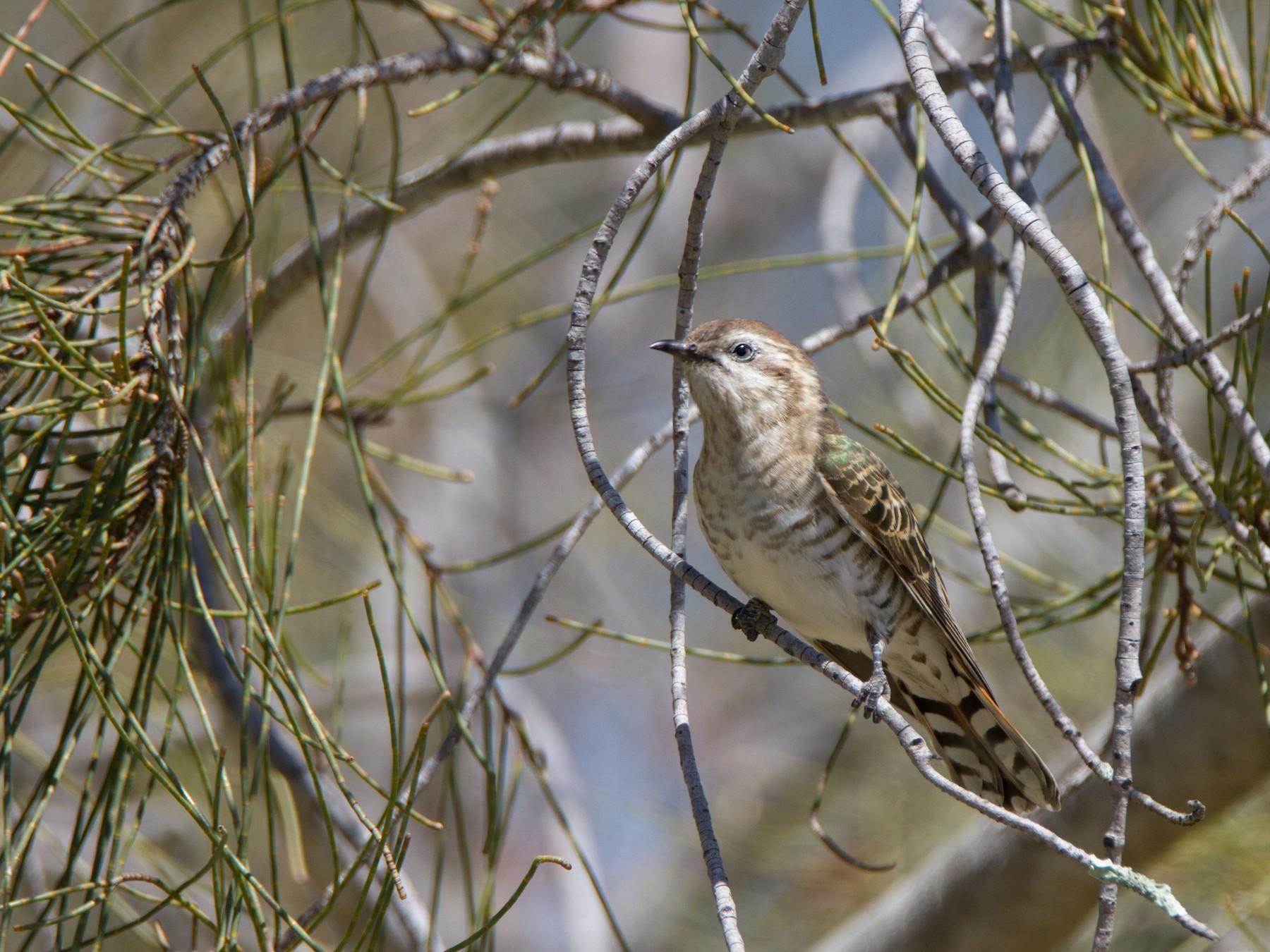 Horsfield's Bronze-Cuckoo - Timothy Paasila