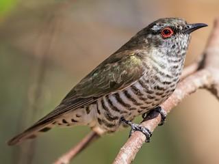 - Little Bronze-Cuckoo