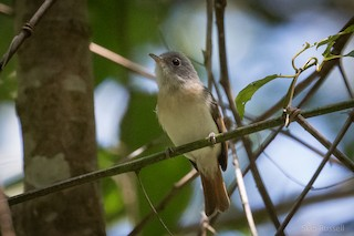 - Red-tailed Newtonia