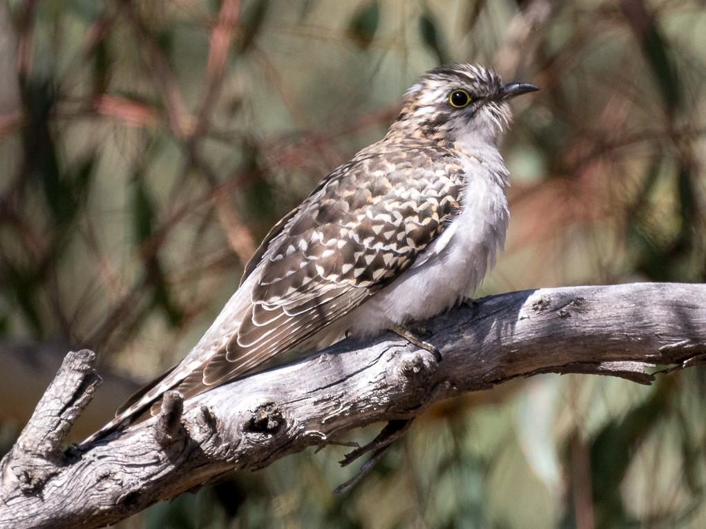 Pallid Cuckoo - Luke Shelley
