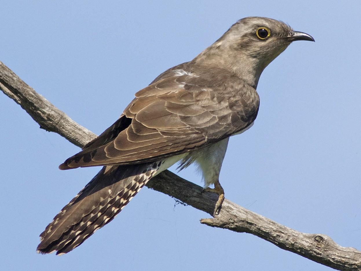 Pallid Cuckoo - Stephen Murray