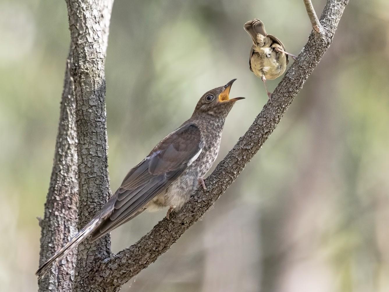 Fan-tailed Cuckoo - Jill Duncan &  Ken Bissett