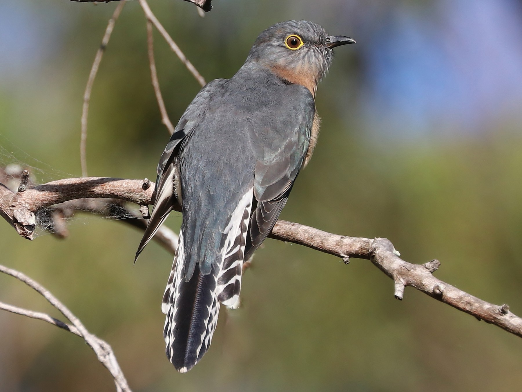 Fan-tailed Cuckoo - Rick Franks