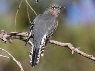 - Fan-tailed Cuckoo