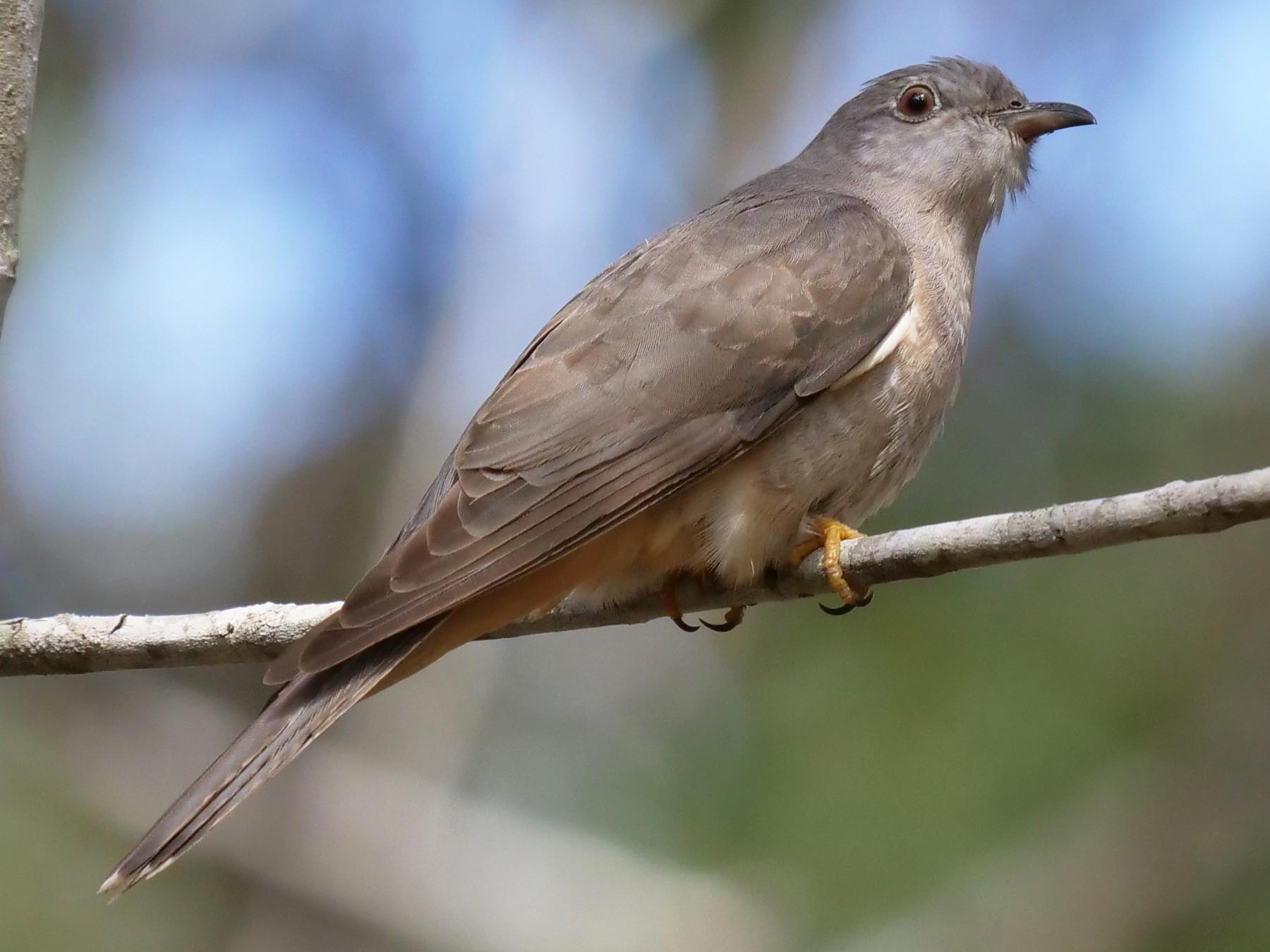 Brush Cuckoo - Frank Coman