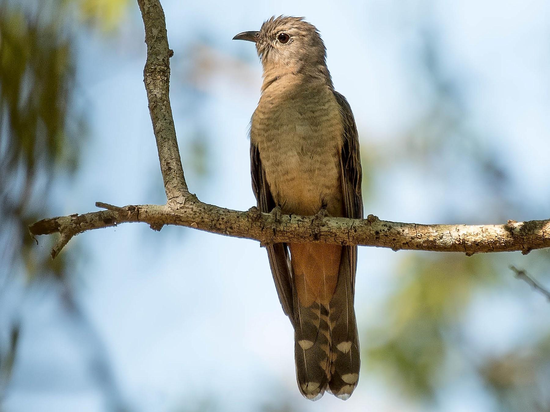 Brush Cuckoo - Terence Alexander
