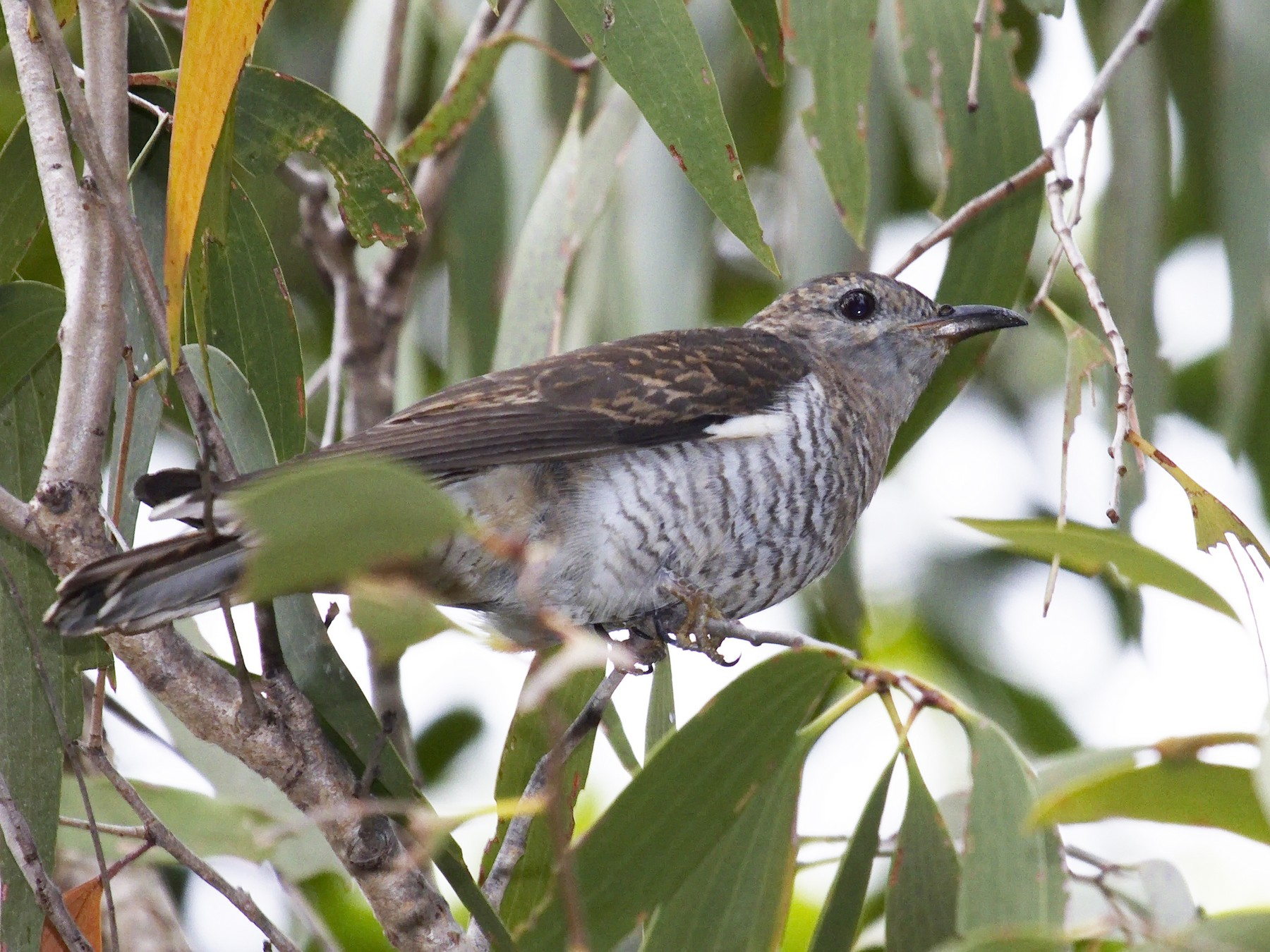 Brush Cuckoo - Ed Pierce