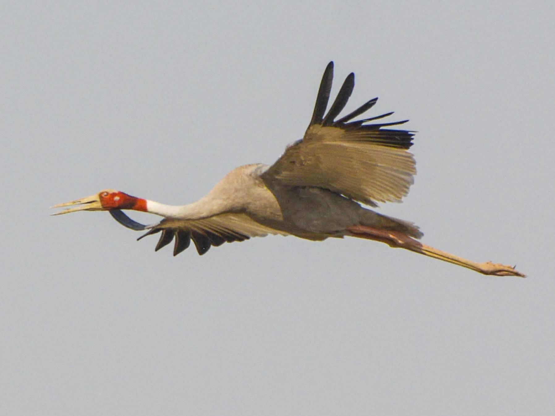 Sarus Crane - Parvez Shagoo