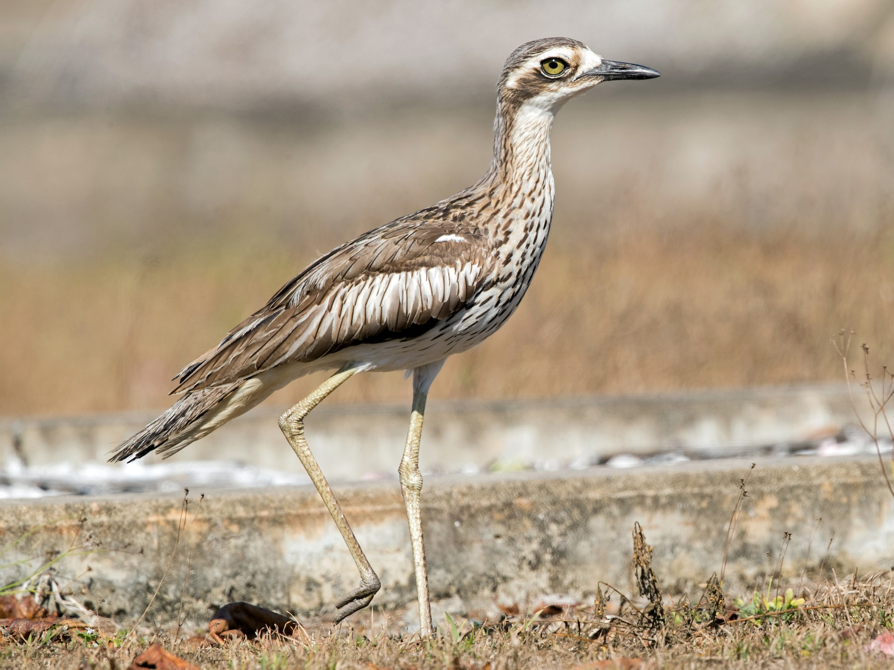 Bush Thick-knee - David Irving