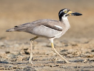 - Beach Thick-knee