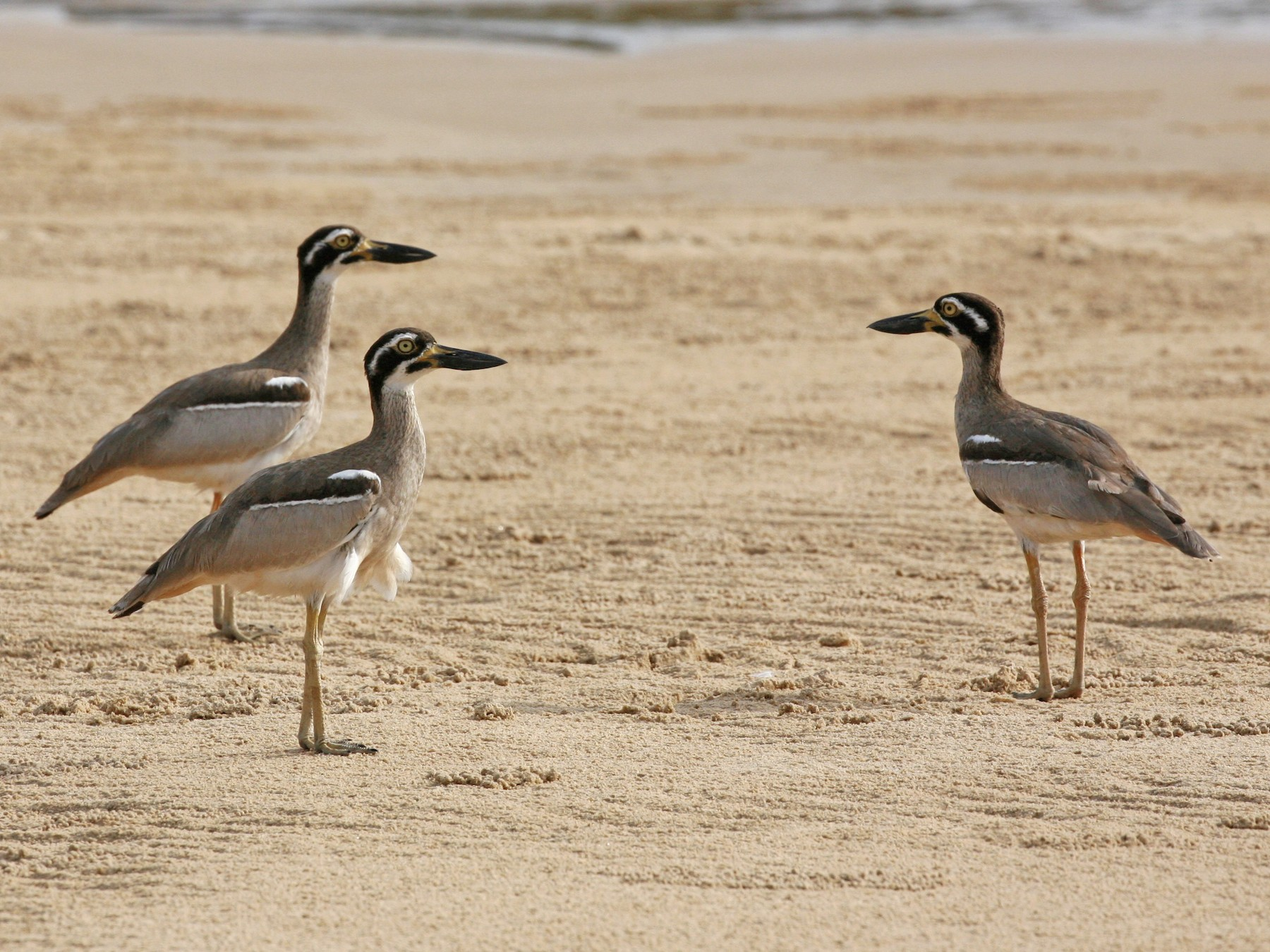 Beach Thick-knee - Jesse Gibson