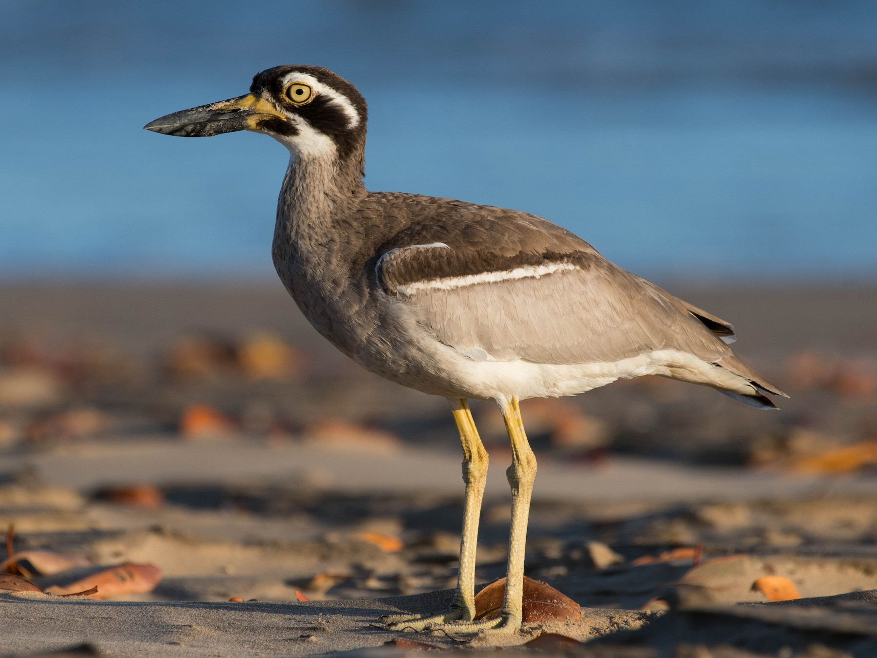 Beach Thick-knee - Terence Alexander