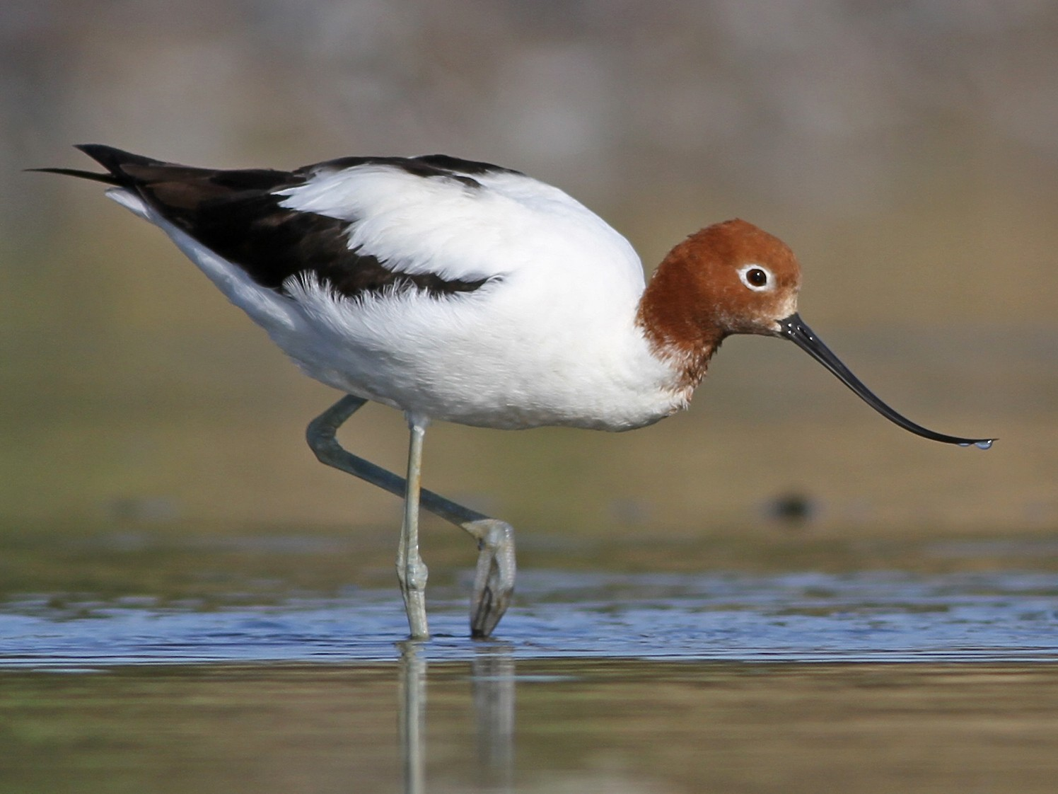 Red-necked Avocet - Chris Wiley