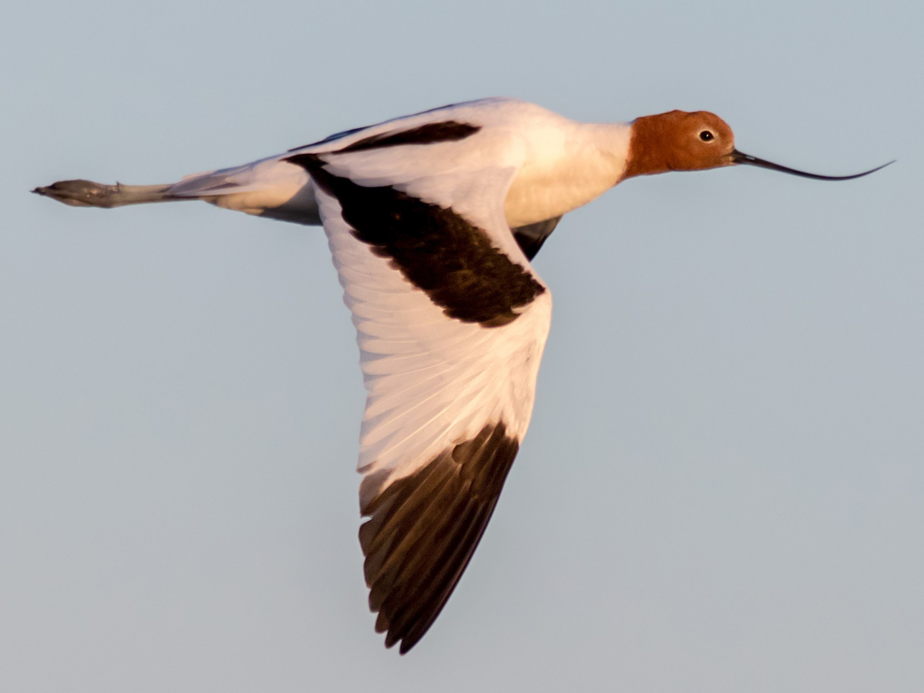 Red-necked Avocet - Andrew Allen