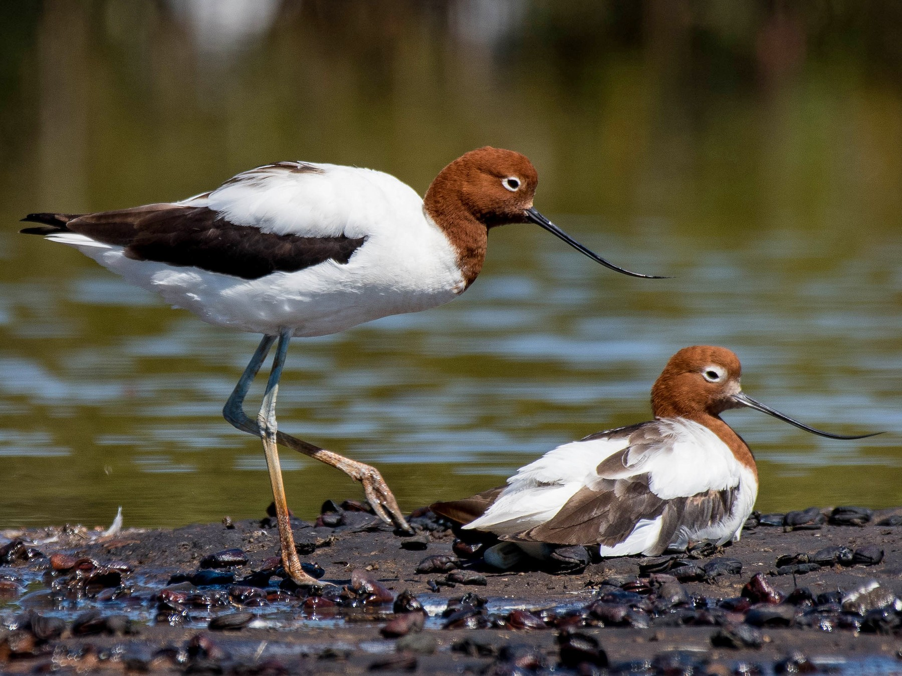 Red-necked Avocet - Terence Alexander