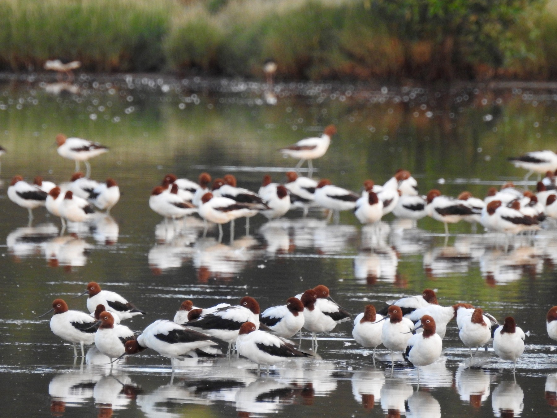 Red-necked Avocet - Michael Daley