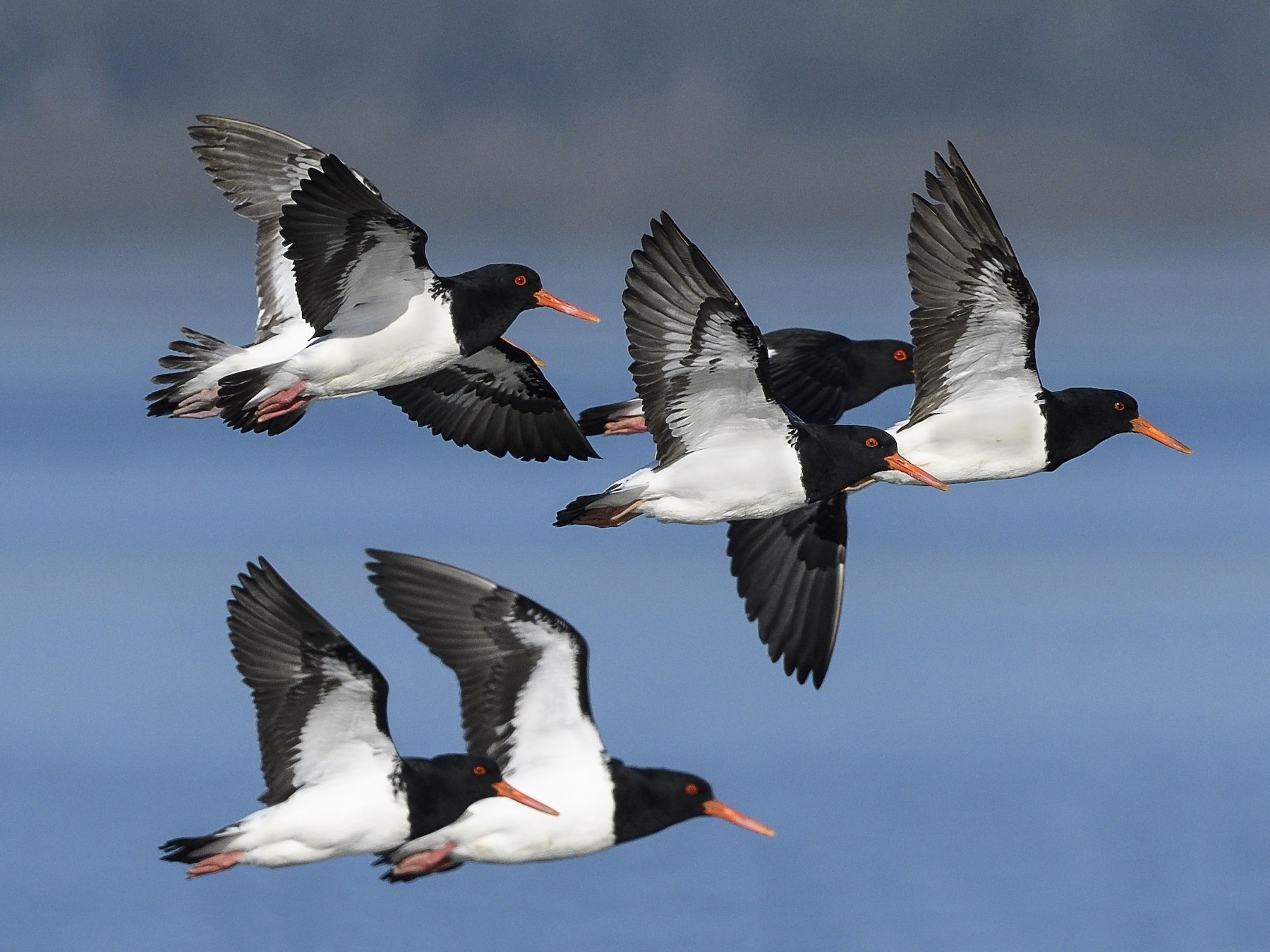 Pied Oystercatcher - Greg & Jeanette Licence
