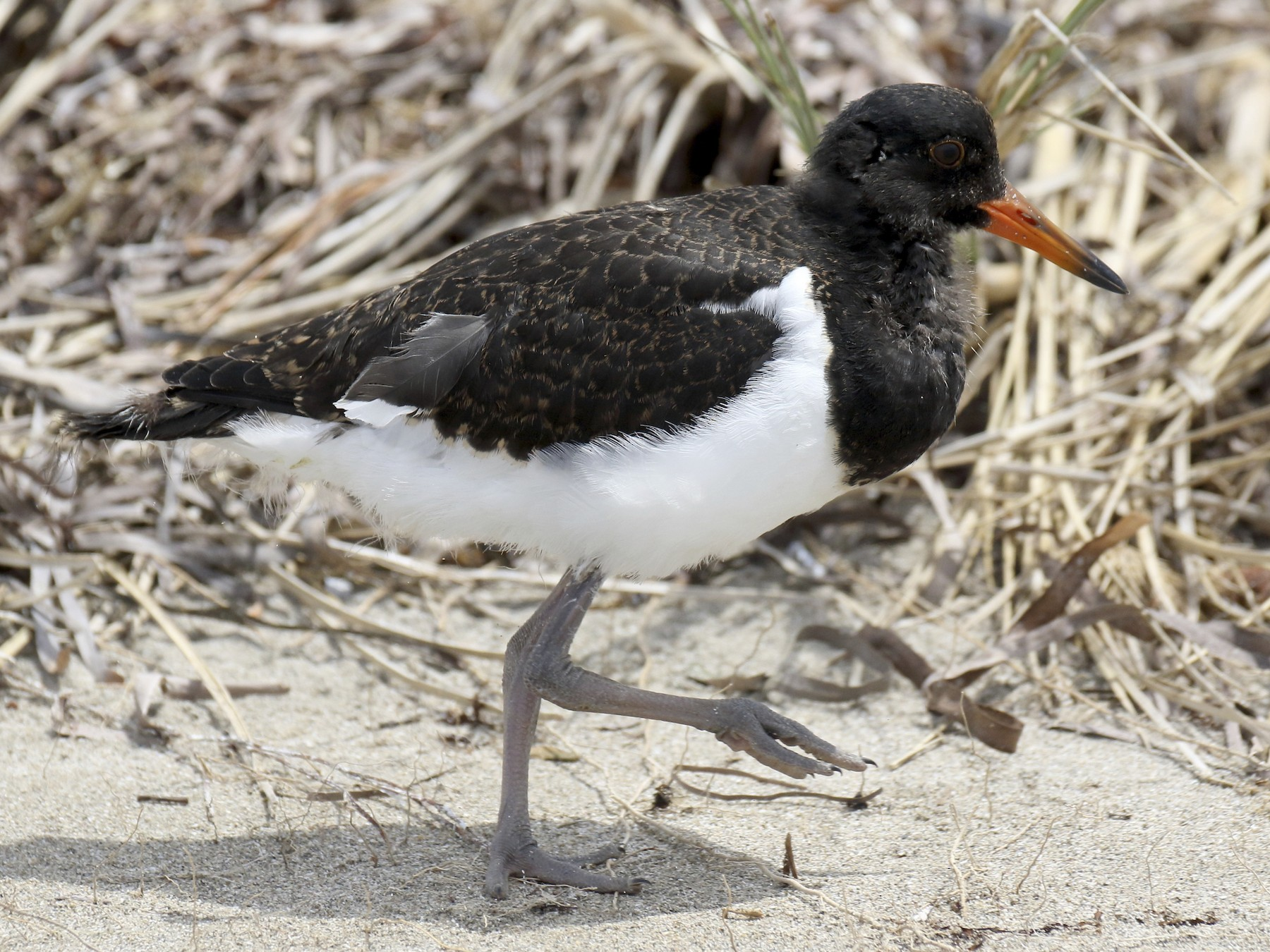 Pied Oystercatcher - Chris Barnes