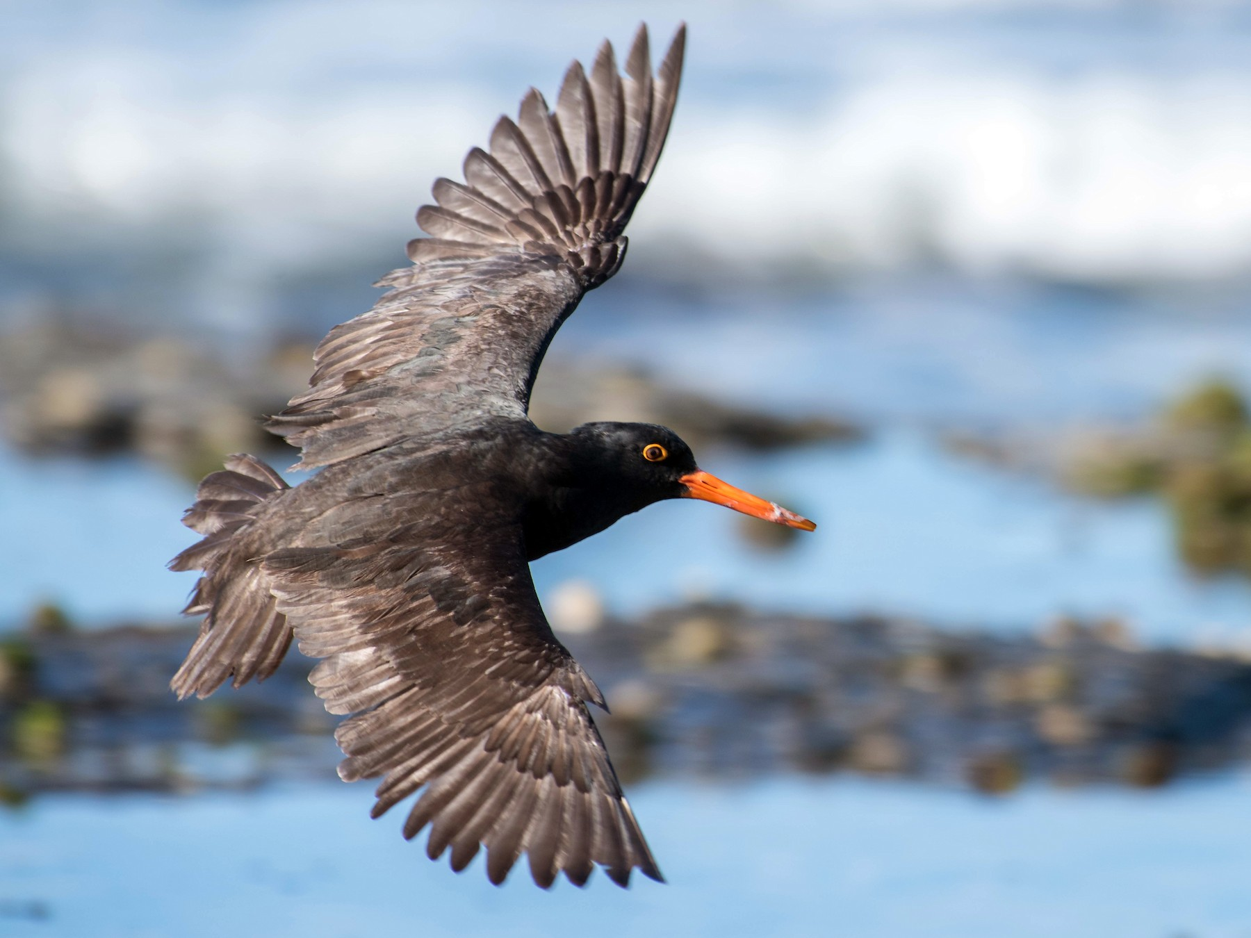 Sooty Oystercatcher - Peter Taylor