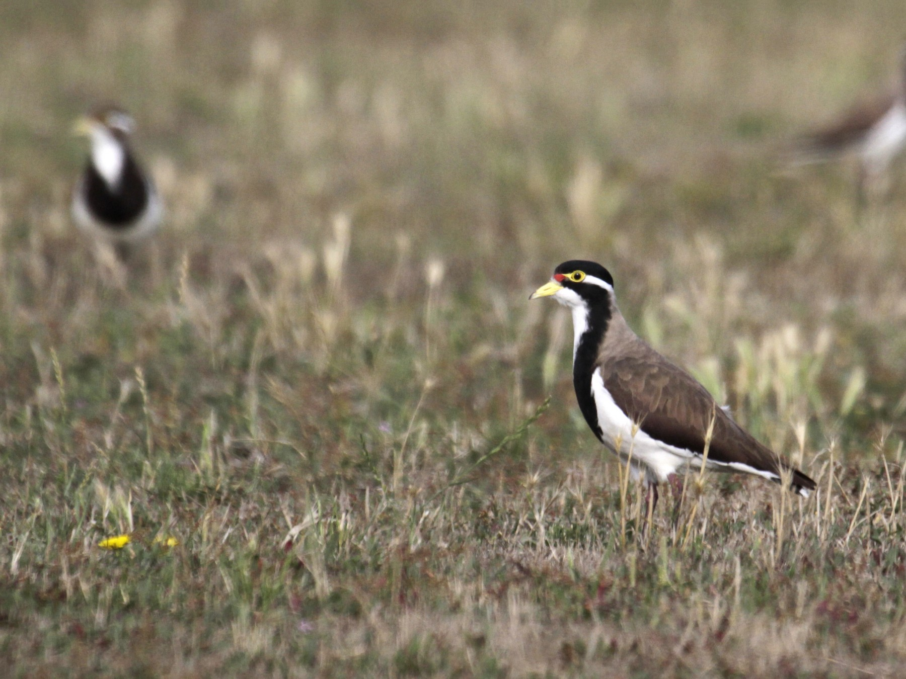 Banded Lapwing - Paul Brooks