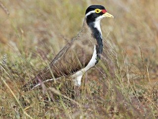 - Banded Lapwing