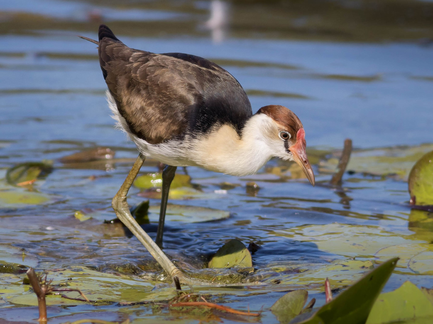 Comb-crested Jacana - Ged Tranter