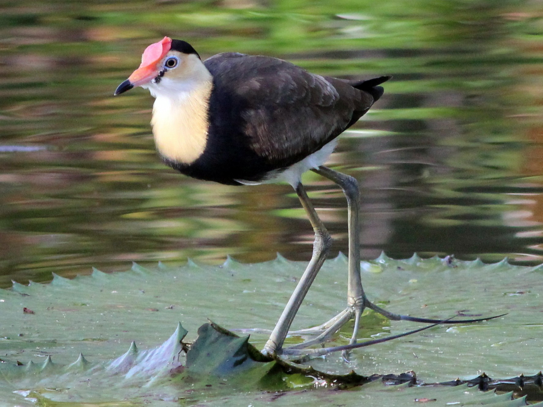Comb-crested Jacana - Gary Leavens