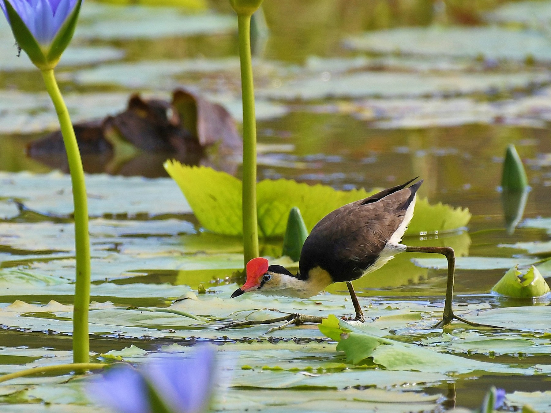 Comb-crested Jacana - Terence Alexander